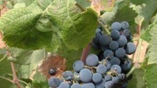 Competencia multa a tres asociaciones vitivinícolas manchegas