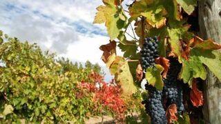 La Rioja retrasa tres semanas la cosecha de uva