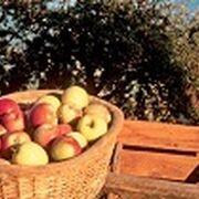 La cosecha de manzana aumenta este año el 16% en Cataluña y la de pera baja el 14%