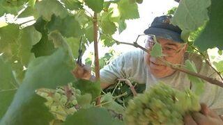 La producción de uva para cava será el 15-18% menor que en 2013