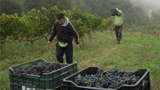 Pazo de Rivas y CSIC buscan una uva tinta Mencía más saludable