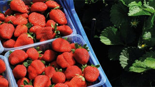 Mercadona comprará 16 millones de kilos de fresón de Huelva