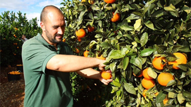 Mercadona aumenta el 30% las compras de naranja española