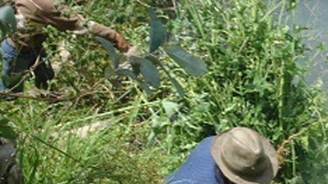 Preservativos ultrafinos y resistentes gracias a una hierba australiana
