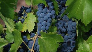 El cambio climático ya afecta a la elaboración de los vinos