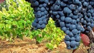 Disminuye la producción de vino y mosto en la campaña 2015-2016