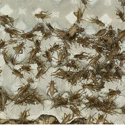 La alimentación del futuro ya es presente: la UE autoriza el consumo como alimento de un insecto