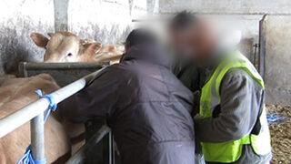 Catorce detenidos por prácticas de engorde ilegal de ganado bovino