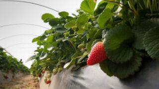 Cuna de Platero da protagonismo a la fresa tras la plantación