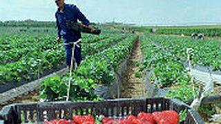 Las bajas temperaturas menguan la producción de fresa de Huelva