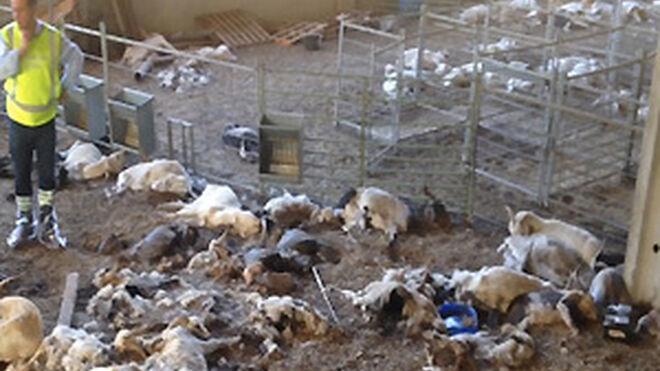 Detenida una ganadera por tener 346 cabras muertas por inanición