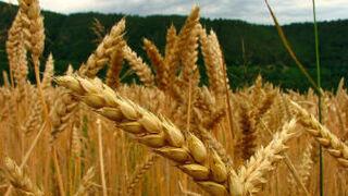 Aparecen detalles ocultos en el genoma del trigo del pan