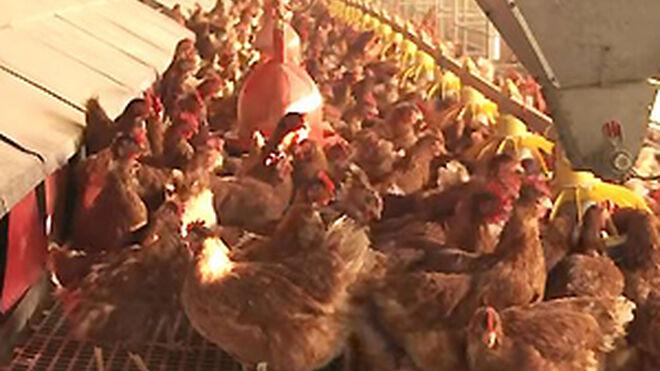 Huevos de gallinas enjauladas... ¿sí o no en los supermercados?