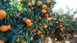 La clementina Octubrina despierta interés internacional