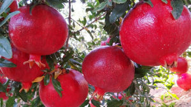Genesis Innovation registra dos nuevas variedades de granada