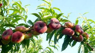 Octubre: mes clave para el sector de la fruta de hueso