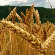 El precio de los alimentos escala a máximos de una década, según FAO