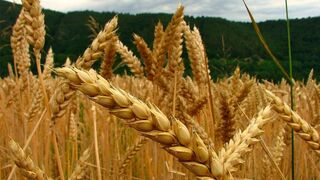 Previsiones 'de lujo' para la cosecha de cereales