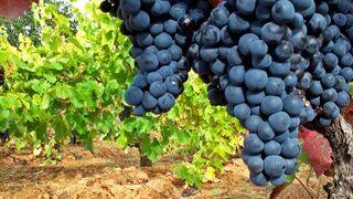 Vendimia 2017: menor producción, pero mejor uva