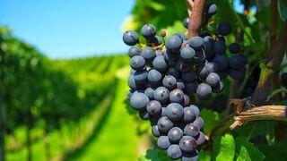 Casi 5.000 hectáreas para nuevos viñedos en 2018