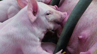 Buenas cifras de ventas de exportación de porcino