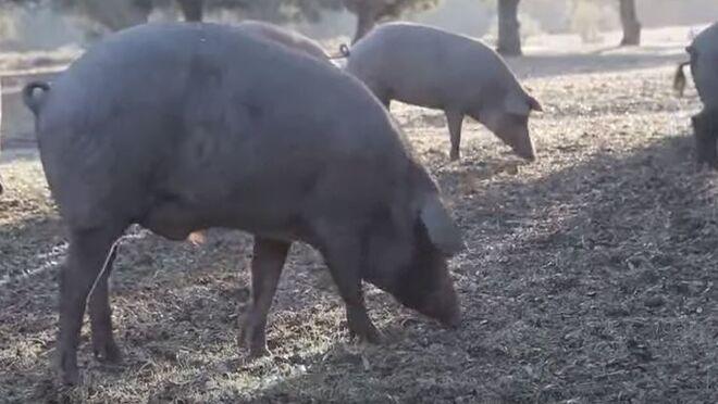 Auchan reincorpora el cerdo de bellota ibérico fresco a sus estantes