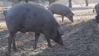 Los cerdos de bellota ibéricos conquistan Alcampo y Simply
