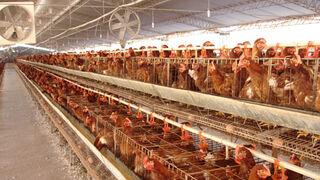 Francia prohibirá la venta de huevos de gallinas enjauladas