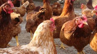 Así se moderniza la industria de huevos en China