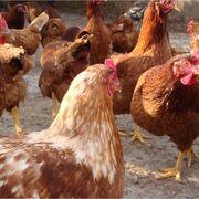 Una iniciativa ciudadana busca acabar con las jaulas para animales en la UE