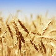 La secuencia completa del genoma del trigo ya es pública