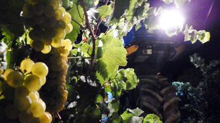 Pirineos espera recolectar 3,5 millones de kilos de uva