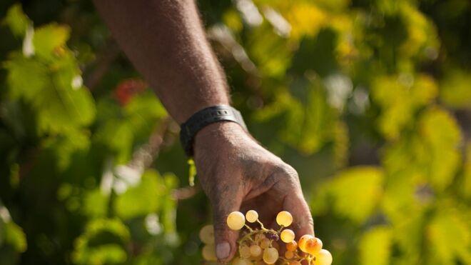 Barbadillo espera recolectar 11,2 millones de kilos de uva