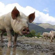 Los ganaderos piden prohibir la importación de lechones