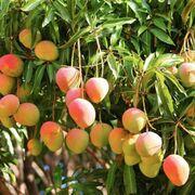 El dulce momento del mango español y su año más explosivo