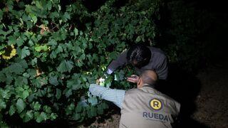 """Rueda finaliza la vendimia con una cosecha """"histórica"""""""