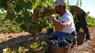 Ribera del Duero vendimia 125 millones de kilos de uva