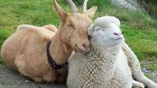 El precio en origen de ovino y caprino cae el 9% en un año