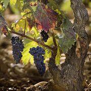 """La DO Rioja prevé una cosecha """"histórica"""" para este año"""