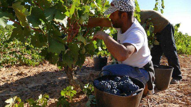 Ribera del Duero cierra una cosecha con 29 millones de kilos menos