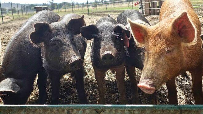 Las exportaciones de porcino se disparan fuera de la UE