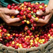 Descubre todos los pasos de la elaboración del café