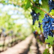 El 96% de la superficie de viñedo en España está en territorio de alguna denominación de calidad