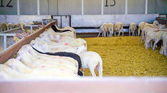Amazon se alía con Interovic para vender carne de cordero