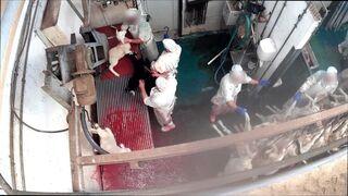 Piden la instalación obligatoria de cámaras de seguridad en todos los mataderos