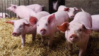 El Gobierno aprueba ayudas por valor de 10 millones para el porcino ibérico