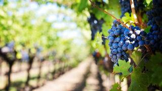 Coag pide al Gobierno que vigile el precio de la venta de uva a las bodegas