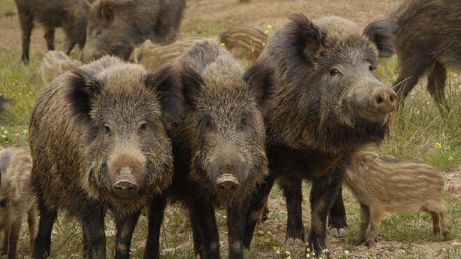 El control de los jabalíes, clave para proteger a la pujante industria porcina española