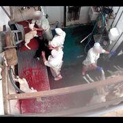 Solicitan instalar cámaras en los mataderos de Valencia