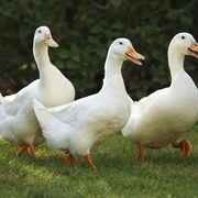 España refuerza su protección contra la gripe aviar